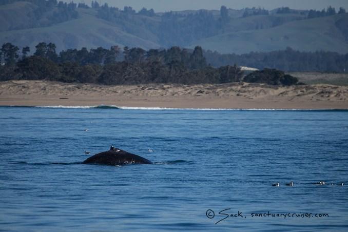 Moss Landing Humpback Whale