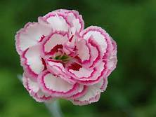 Carnation Fragrance Oil-15mls