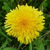 Dandelion Root Herbal Tincture-50mls-Taraxacum officinale
