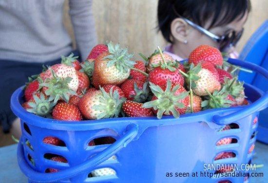 petik sendiri strawberry dari Gunung Lawu