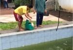 Ikan Nila di Kolam Renang Manusia