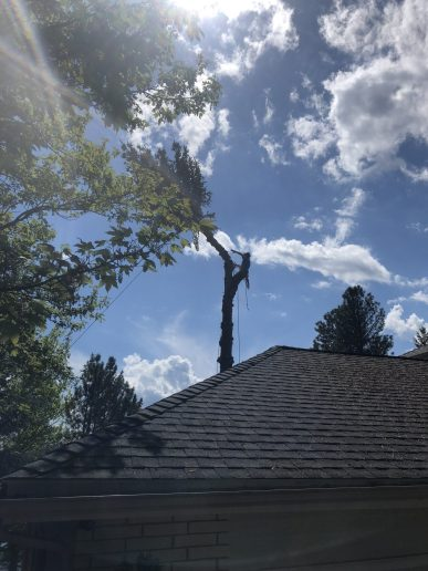 Tyler Quintano pushes the top out of a spruce tree over a house