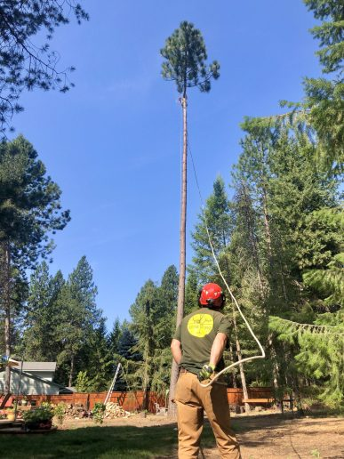 Topher helps pull the top out of a ponderosa as the climber finishes his cut