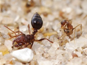 A crazy ant detoxifying itself next to a fire ant. Photograph by Lawrence Gilbert