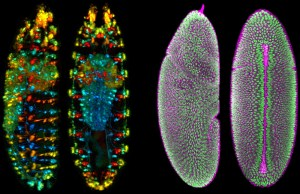 Developing Drosophila Embryo (Credit: Credit: Raghav Chhetri, Fernando Amat, Yinan Wan, Burkhard Höckendorf, William Lemon & Philipp Keller, Janelia Research Campus.)