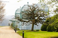 A man looks at the royal greenhouses, wit a big Sophora japonica tree in front