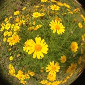fisheye lens - flower patch