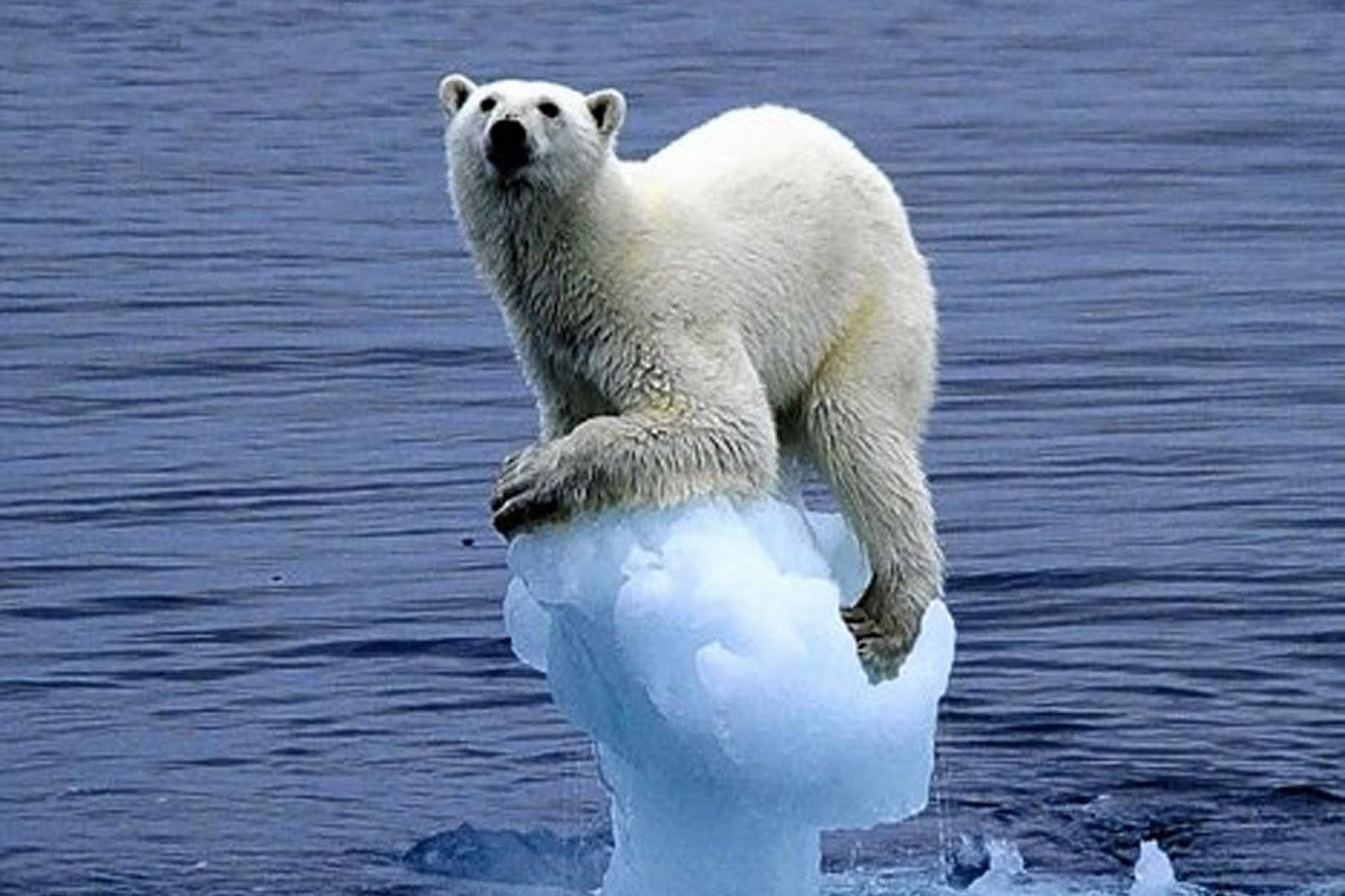 Arctic Sea Ice Thins So Do Polar Bears