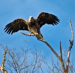 Juvenile Eagle in Tree. /  Credit: Susan Leggett / dreamstime.com