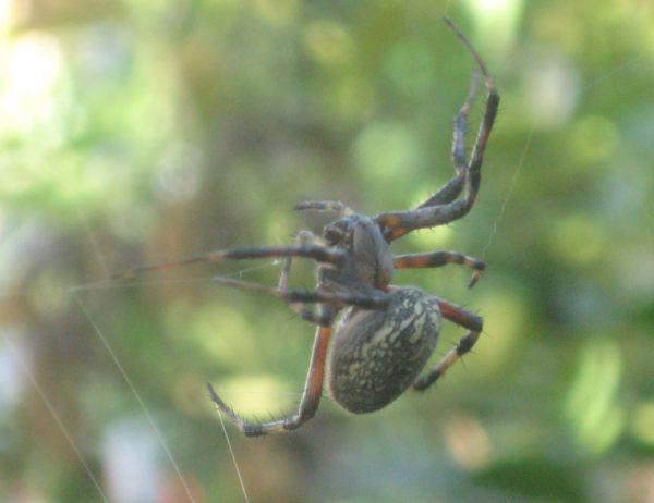Spider orb Aug_2013