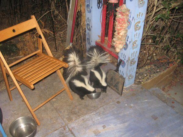 skunks porch August_2013