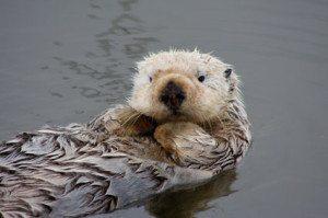 California sea otter (credit NOAA Fisheries)-thumb-425x283-13277