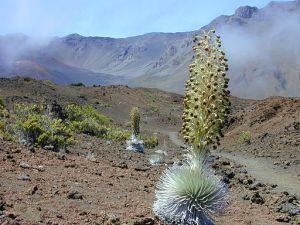 Ahinahina - Hawai'ian Silversword (Argyroxiphium sandwicense subsp. macrocephalum)