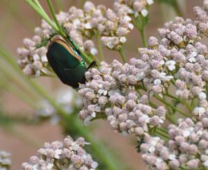 Fig Beetle, mothernaturesbackyard.com