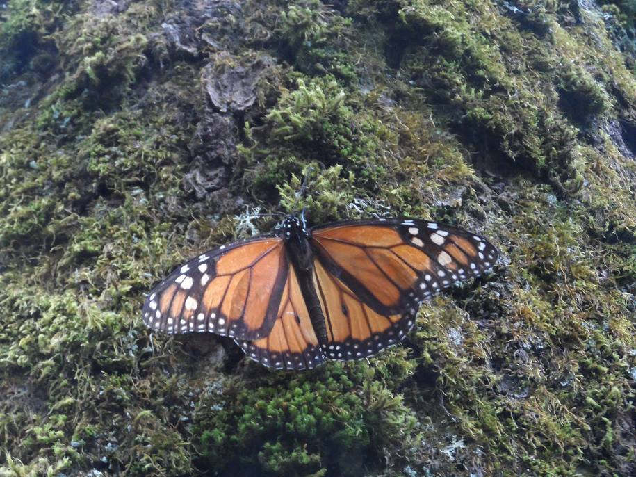 A single monarch butterfly rests on a lichen covered trunk of an oyamel fir tree in Mexico.
