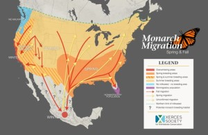 Map of North America from Canada through Mexico showing the converging lines of monarchs migration paths to California and to Mexico