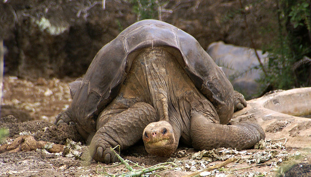 Lonesome George Pinta giant tortoise Santa Cruz