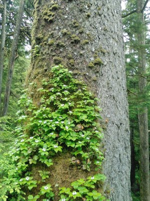 Tree trunk with Bunchberry growing on it.