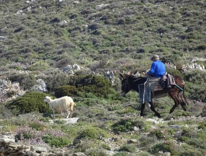 Sheep herder keeping it old school