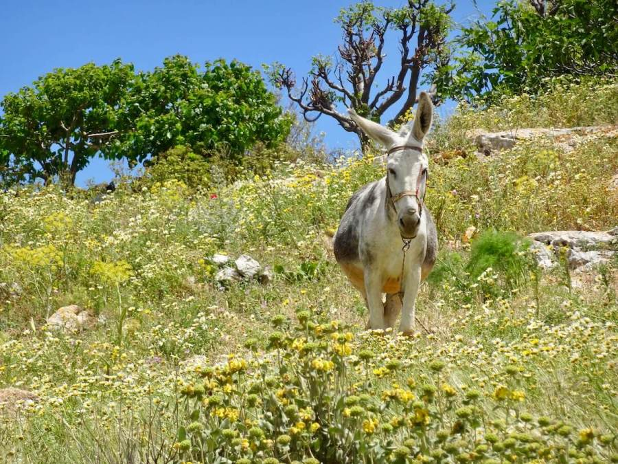 Donkey amongst the wildflowers, Paros