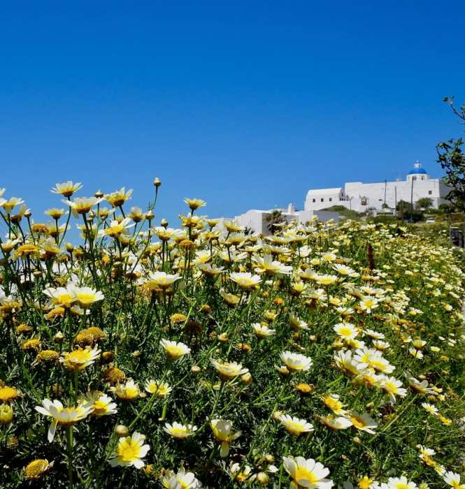 Wildflowers and churches, Santorini