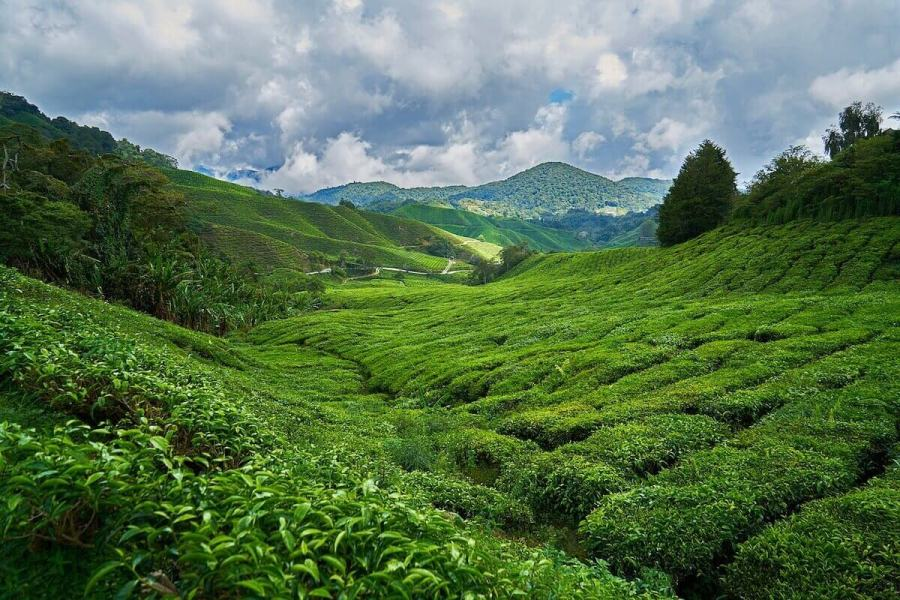 Cameron Highland tea plantations-Places to go in Malaysia