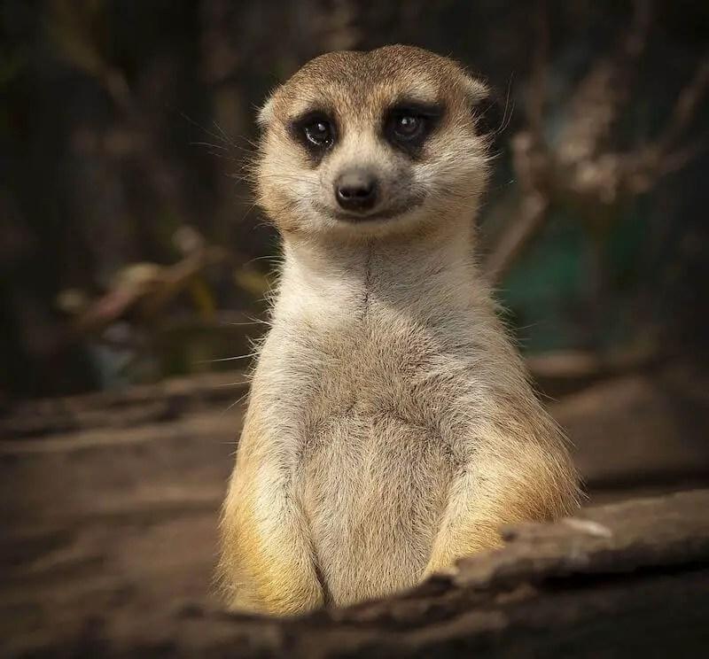 meerkat smiling