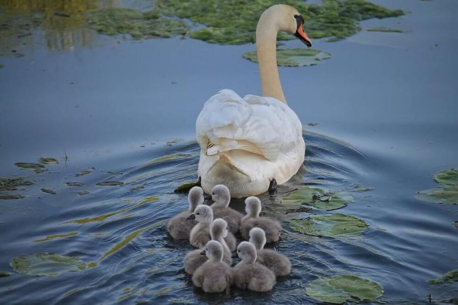 baby swans following mama-moving to a foreign country