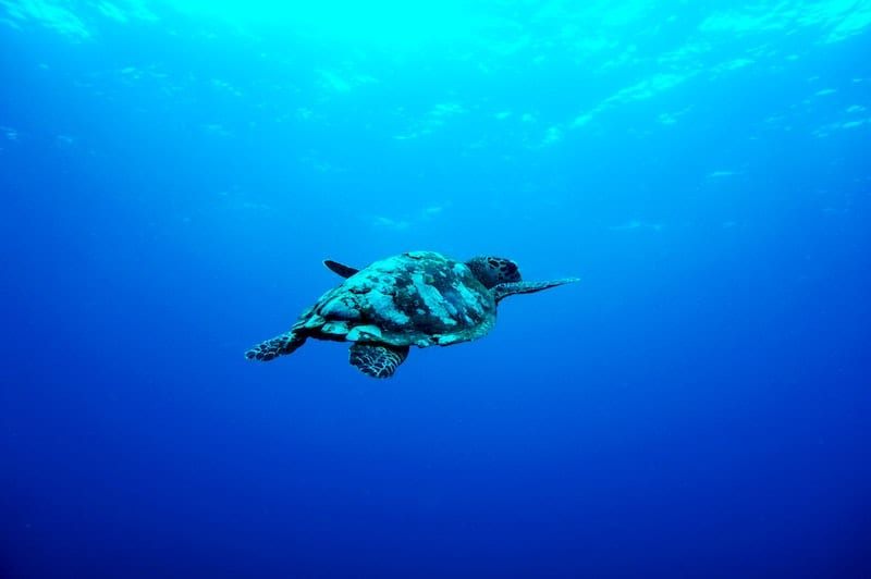 swimming turtle in blue water