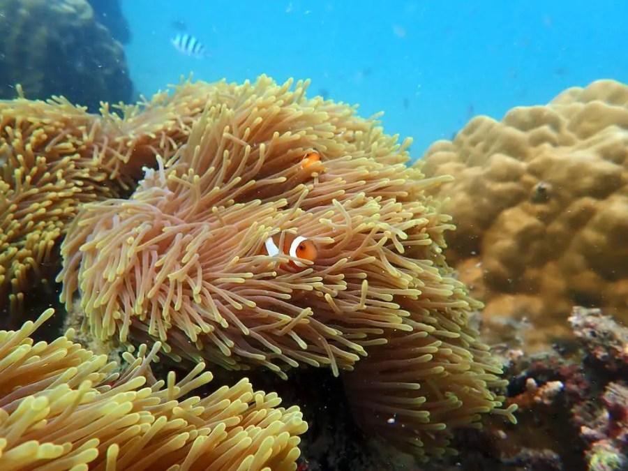 nemo clownfish hiding in coral tioman