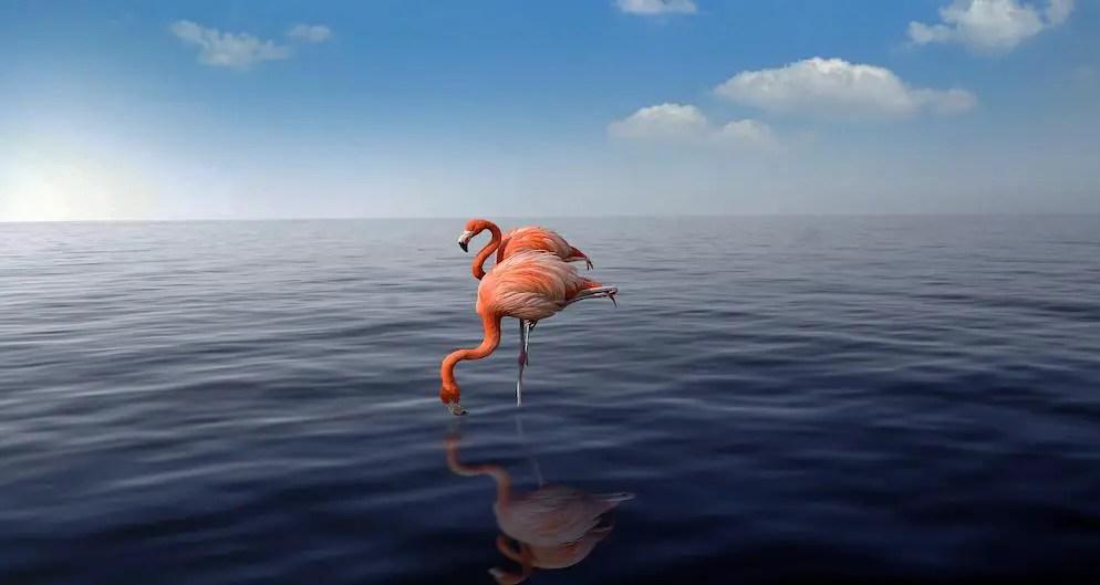 Flamingos in the water in Aruba