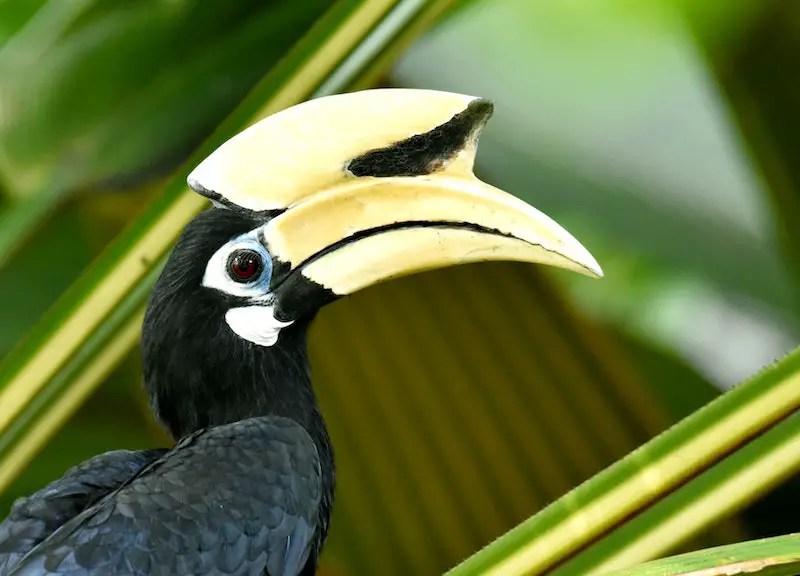 profile of hornbill, Malaysia's national bird