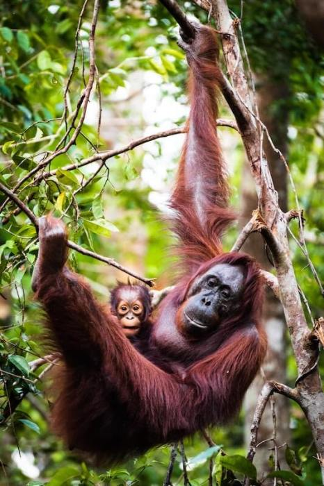 orangutan with baby hanging in tree