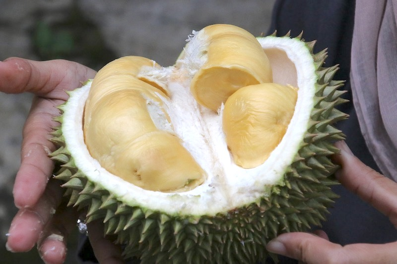 spiky open durian with yellow lobes fruits of malaysia