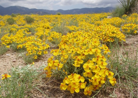 Wild zinnias growing in profusion near the Sandia Mountains east of Albuquerque, New Mexico. Photo by Charlie McDonald.