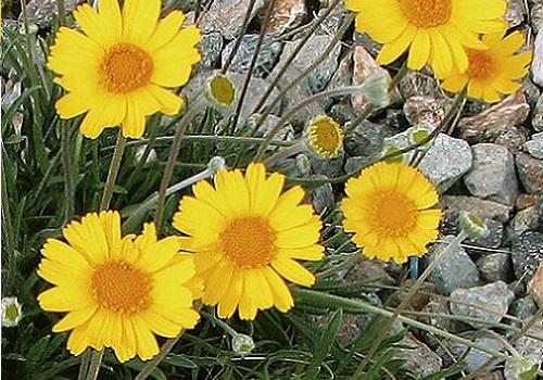 Angelita daisy Tetraneuris acaulis (Hymenoxys acaulis)