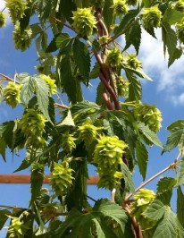 Growing Neomexicanus Wild Hop