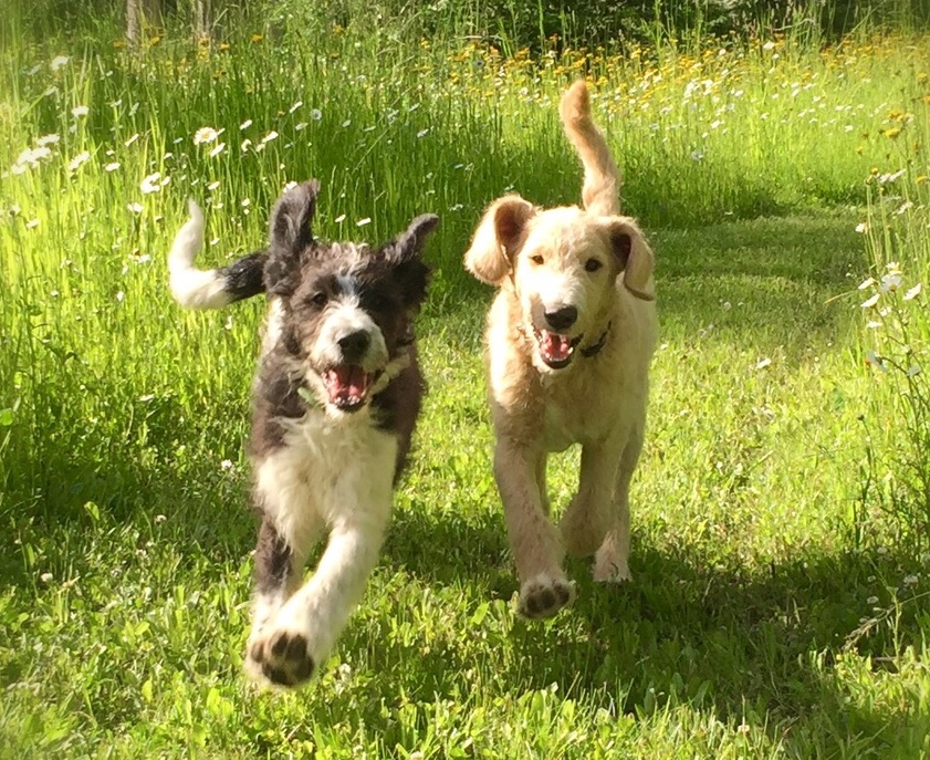 Labradodle puppies