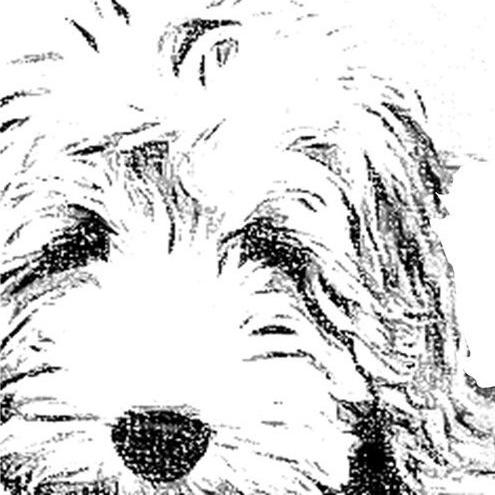 Sandpoint Doodles Labradoodle Goldendoodle Bernedoodle