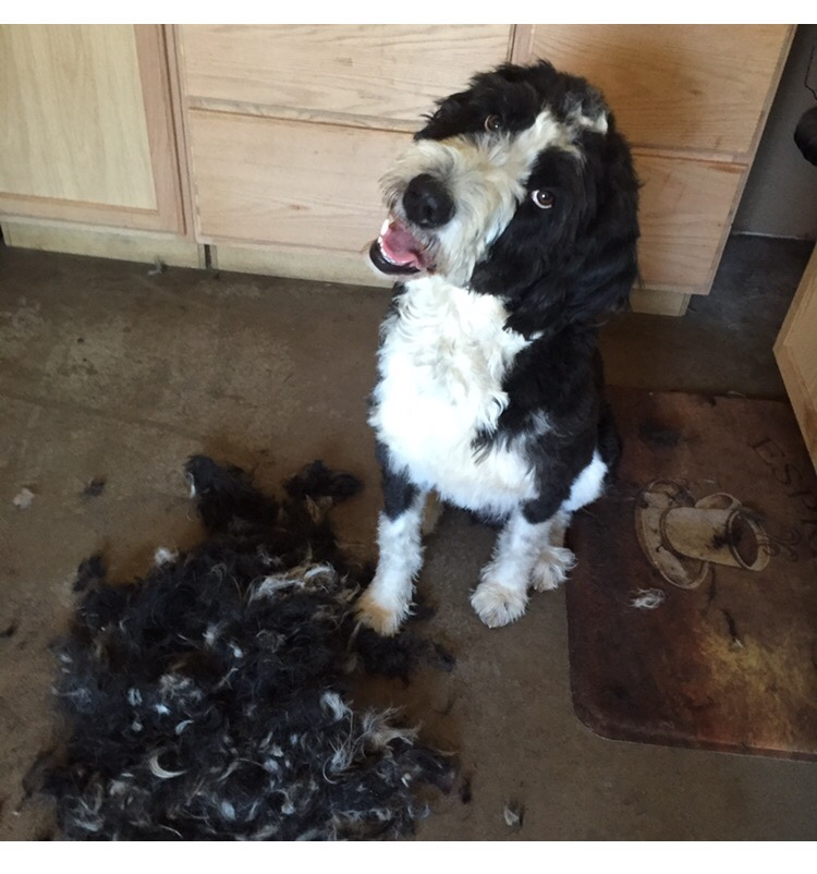 labradoodle grooming