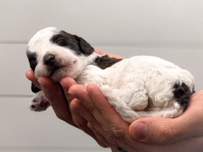 Double Doodle Puppy
