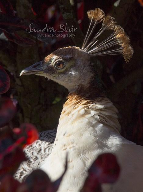 Peafowl Hen