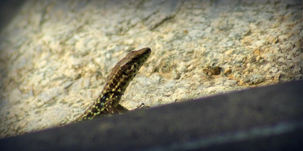 Tyrrheense Muurhagedis - Podarcis tiliguerta
