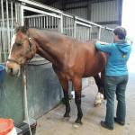 6eee9164329 Sandra behandeld mijn paard om de 6 a 8 weken. Hij geniet er elke keer weer  van. Ook helpt het zijn immuunsysteem sterker te worden.