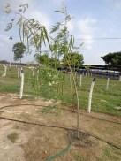 Árbol de Moringa, Finca La Divina Pastora, Edo. Lara