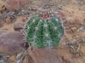 Cactus, La Coposa, Edo. Lara