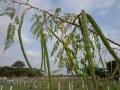 Vaina del árbol  Moringa, Finca La Divina Pastora, Edo. Lara