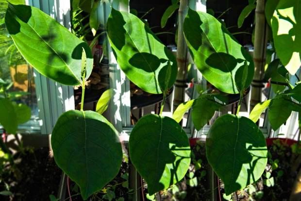 Jackfruit Trees