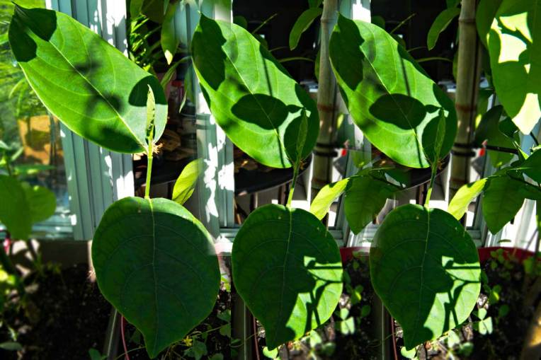 Jackfruit Trees