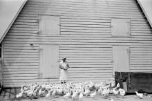 Arthur+Rothstein+-+Feeding+chickens%252C+Wabash+Farms%252C+Indiana%252C+1938